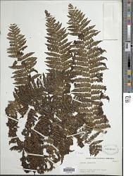 Cyathea delgadii Pohl ex Sternb.