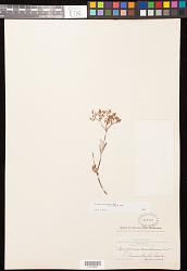 Eriogonum microthecum var. laxiflorum Hook.