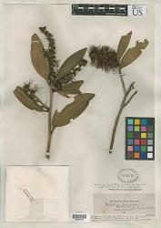 Melaleuca leucodendra var. sanguinea Cheel in Ewart & O.B. Davies