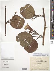 Ipomoea pes-caprae (L.) Aiton