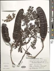 Parkia panurensis Benth.