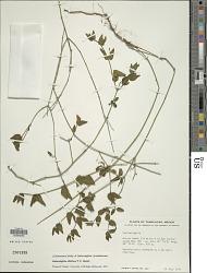Carlowrightia albiflora T.F. Daniel