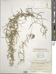 Sarcostemma cynanchoides subsp. hartwegii (Vail) R.W. Holm