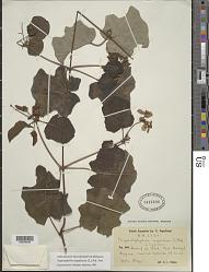 Stigmaphyllon angulosum (L.) A. Juss.