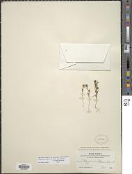 Polygonum polygaloides subsp. kelloggii (Greene) Hickman