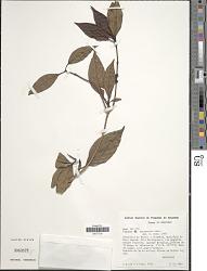 Pagamea guianensis Aubl.