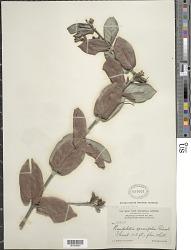 Roigella correifolia (Griseb.) Borhidi & Fernández