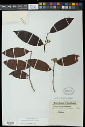 Campomanesia laurifolia Gardner