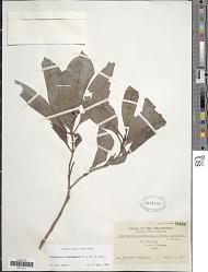 Psychotria luzoniensis (Cham. & Schltdl.) Fern.-Vill.