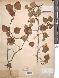 Crataegus iracunda var. silvicola E.J. Palmer