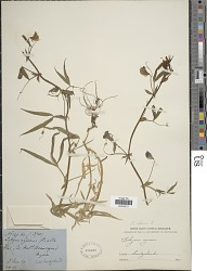 Lathyrus sativus L.