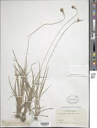 Rhynchospora barbata (Vahl) Kunth