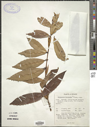 Calophyllum bracteatum