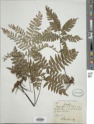 Adiantum latifolium Lam.