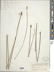 Eleocharis elegans (Kunth) Roem. & Schult.