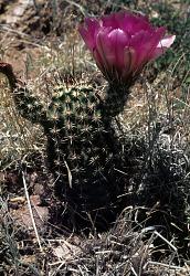 Echinocereus fendleri var. rectispinus