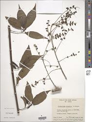 Trichostigma octandrum (L.) H. Walter