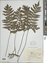Adiantum obliquum Willd.