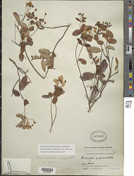 Stigmaphyllon emarginatum (Cav.) A. Juss.