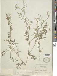 Tephrosia cinerea (L.) Pers.