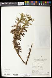 Paepalanthus gleasonii Moldenke
