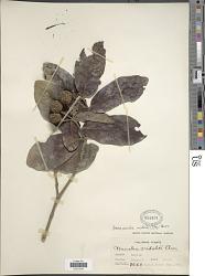 Neonauclea vidalii (Elmer) Merr.