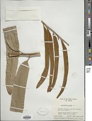 Acrostichum aureum L.