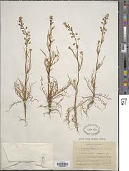 Lepidium nitidum Nutt.