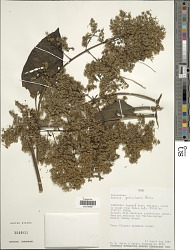 Mikania parvicapitulata Hieron. in Urban