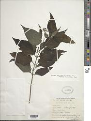 Wedelia calycina Rich.