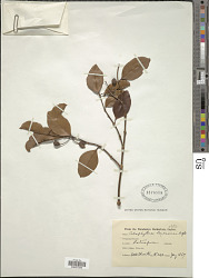 Calophyllum calaba var. calaba