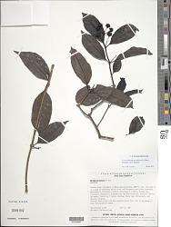 Gynochthodes myrtifolia (A. Gray) Razafim. & B. Bremer