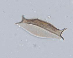 Odontotropis punctata Fleming