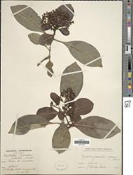 Psychotria capensis (Eckl.) Vatke