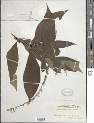 Gonzalagunia hirsuta Schum.