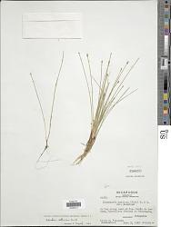 Eleocharis sellowiana Kunth