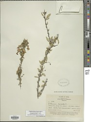 Lycianthes lycioides (L.) Hassl.