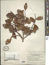 Calophyllum calaba var. cuneatum (Symington ex M.R. Hend. & Wyatt-Sm.) P.F. Stevens