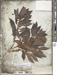 Sideroxylon salicifolium (L.) Lam.