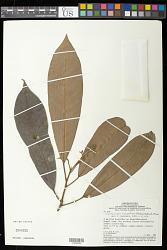 Conchocarpus ucayalinus (Huber) Kallunki & Pirani