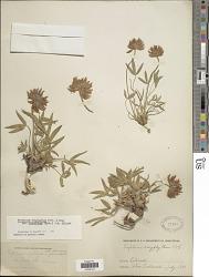 Trifolium dasyphyllum subsp. stenolobum