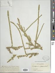 Lycopodiella alopecuroides (L.) Cranfill