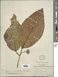 Nauclea orientalis (L.) L.