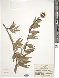 Cephalanthus salicifolius