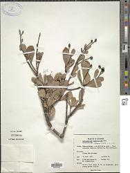 Calophyllum cuneifolium Thwaites