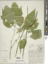 Schaueria parviflora (Leonard) T.F. Daniel