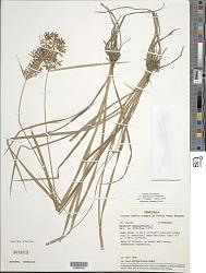 Cyperus esculentus var. leptostachyus Boeckeler