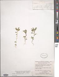 Parietaria pensylvanica Muhl. ex Willd.