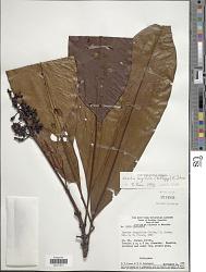 Isertia longifolia