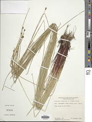 Eleocharis pachystyla (C. Wright) C.B. Clarke